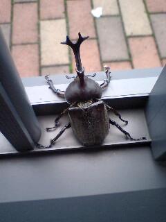 玄関開けたらカブトムシ